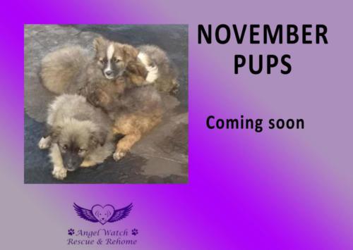 Nov Pups